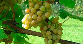 характеристика винограда аврора