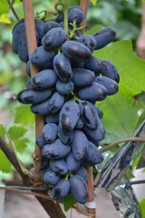 Уход и обрезка винограда Байнокур