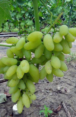 поадка и уход за виноградом гол фингер