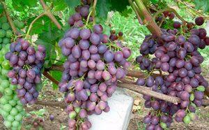 особенности посадки винограда краса никополя