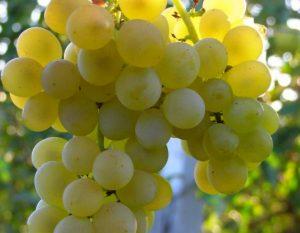 уход за виноградом кристалл