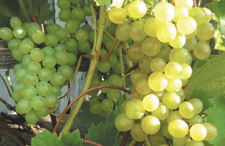 Вимоги до винограда