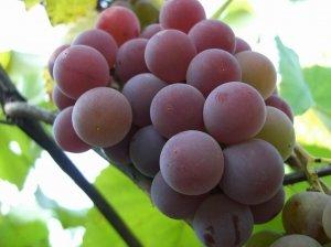 посадка винограда лидия