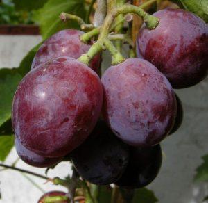 агротехника винограда нина