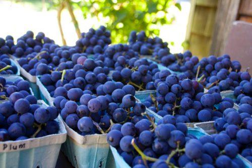 Виноград Ришелье особенности