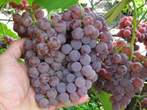 особенности винограда рилайс пинк сидлес