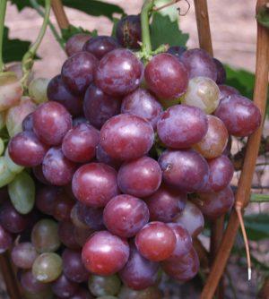 особенности агротехники винограда сенатор павловского