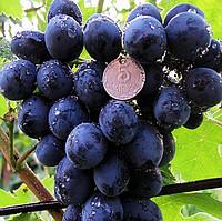 посадка винограда сфинкс