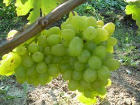 Уход за виноградом жемчуг сабо
