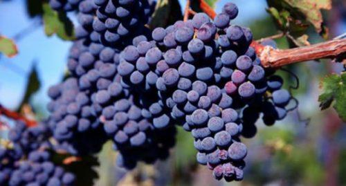 Виноград сорт цимлянский