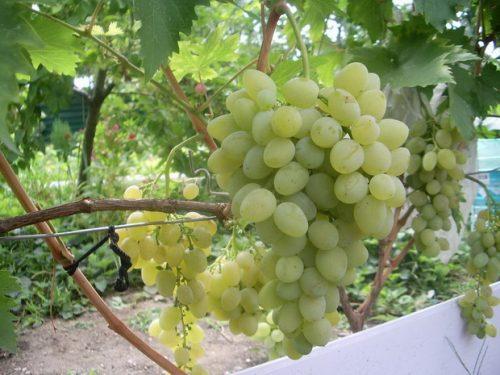 баклановский виноград