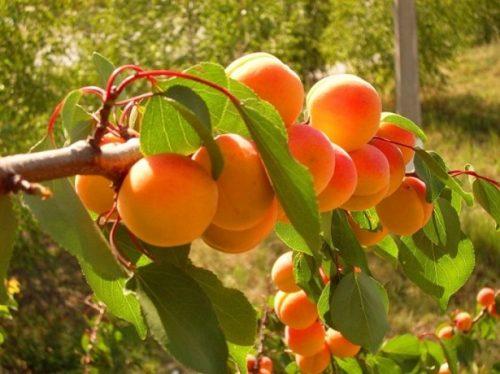 полив абрикосов