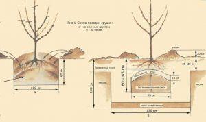 методы посадки груши