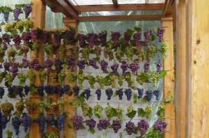 стойкость виноградников к болезням