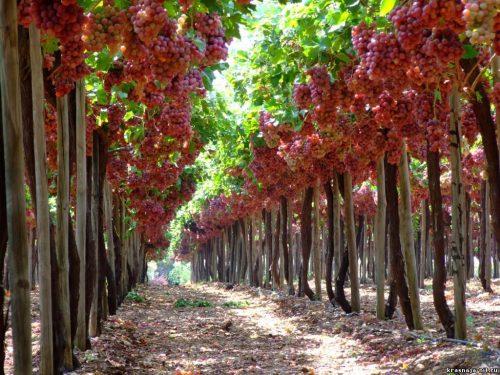 Штамб Винограда