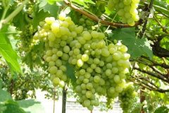 приемущества и недостатки винограда