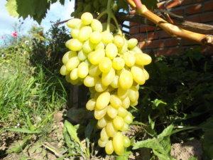 посадка и уход винограда арсеньевский