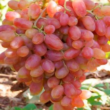 посадка винограда Азалия