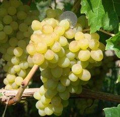 посадка и уход за виноградом багровый