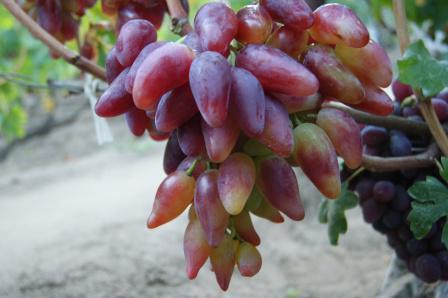 виноград дубовский