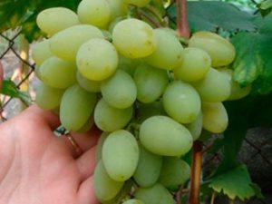 этапы посадки винограда илья