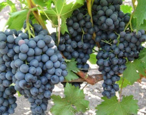 Виноград Макси