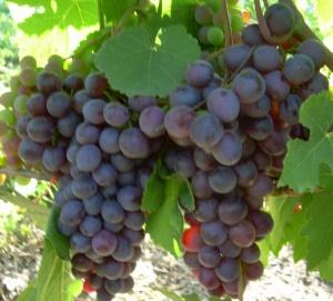 посадка винограда макси