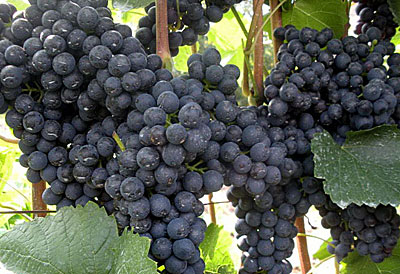 виноград памяти домбовский