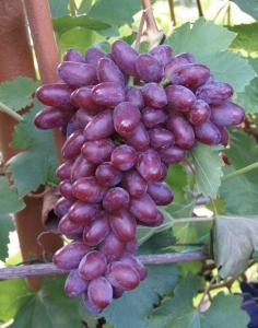 уход за виноградом Ромео