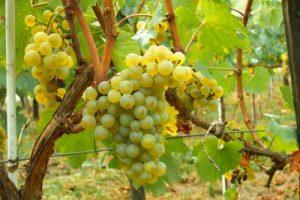 уход за виноградом солярис