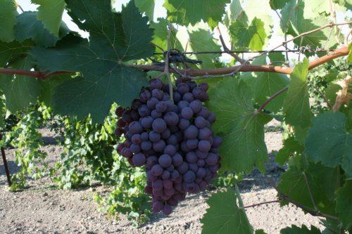 Виноград сорт ажурный