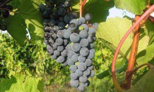 Технология выращивания и основные мероприятия по уходу за виноградом ажурный