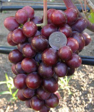 уход и посадка винограда заря несветая