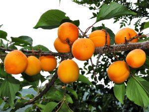 особенности ухода и посадки абрикоса маньчжурского