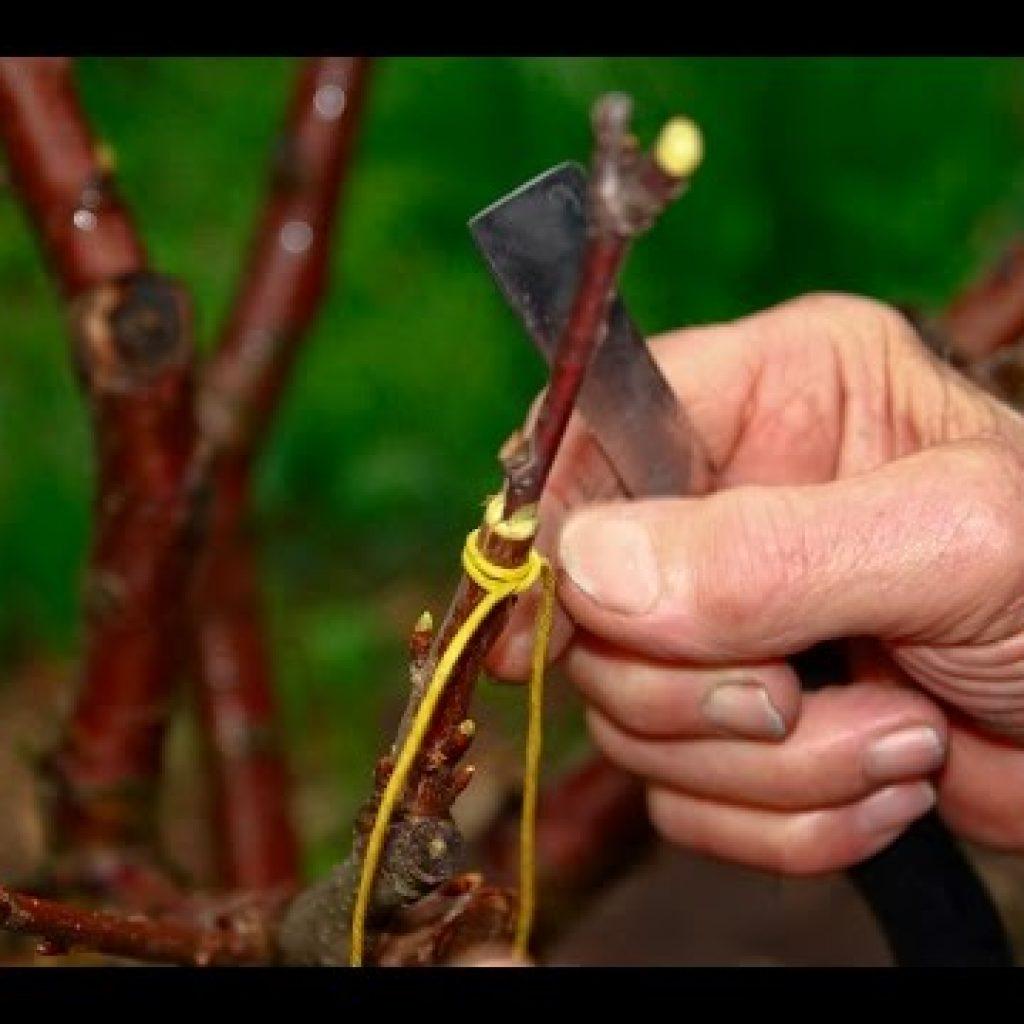Прививка яблонь своими руками