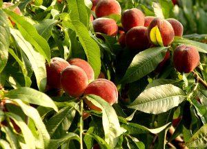 обрезка персиков