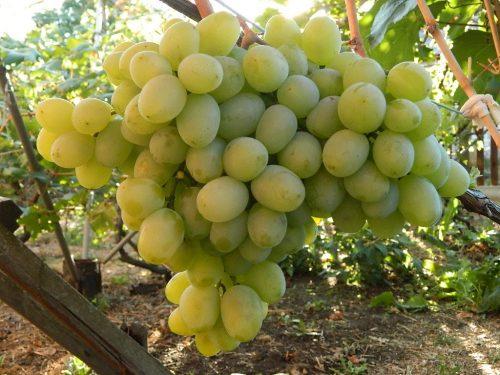 характеристика винограда бируинца