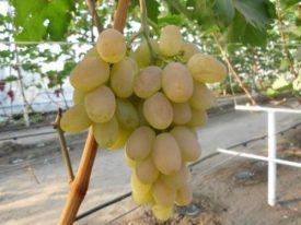 отзывы садоводов о винограде бируинца