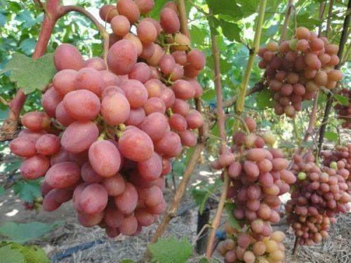 виноград воеода