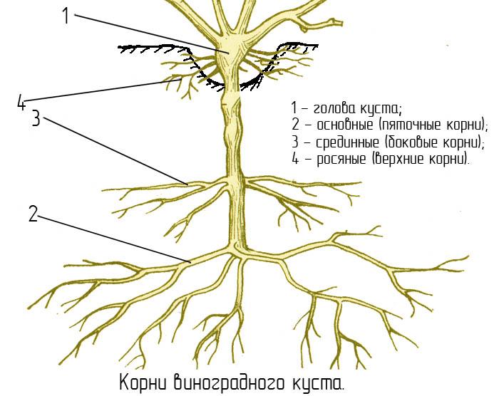 строение корня винограда