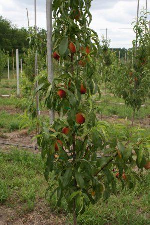 характеристика колоновидного персика