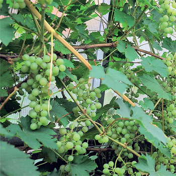 как ускорить срок вызревания виноградной лозы
