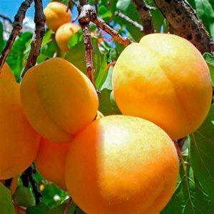 когда сажать абрикос медовый