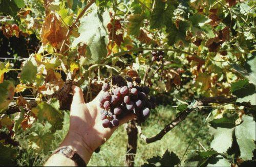 Вертациллезное увядание винограда