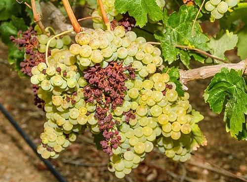 Паралич гребня винограда