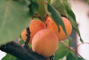агротехника краснощекого абрикоса