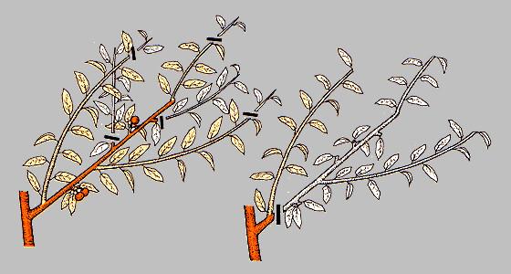 обрезка персика