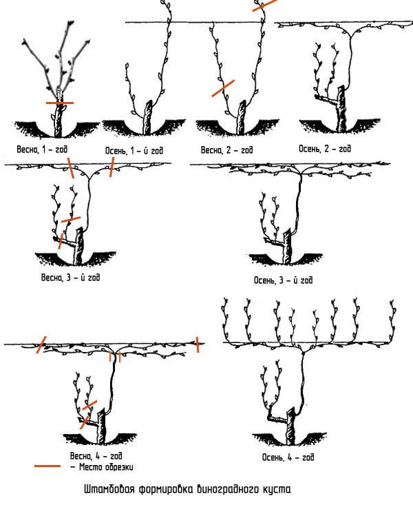 Штамбовая формовка виноградного куста