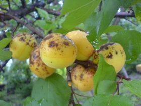 Вредители абрикосовых деревьев