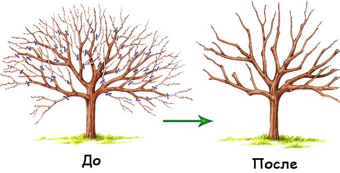 Персик до и после обрезки